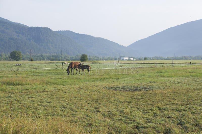 Mare con la sua colt sui pascoli delle fattorie di cavalli fotografia stock