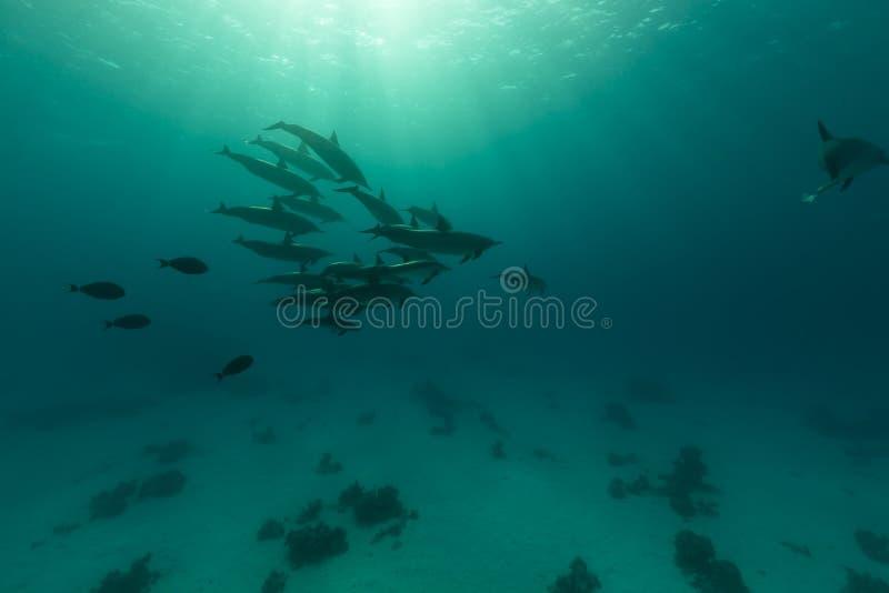 Mare del baccello del delfino del filatore (stenella longirostris) in rosso. fotografie stock