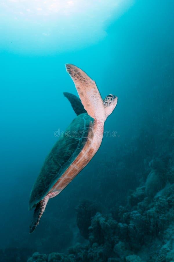 Mare della tartaruga verde in rosso immagine stock libera da diritti