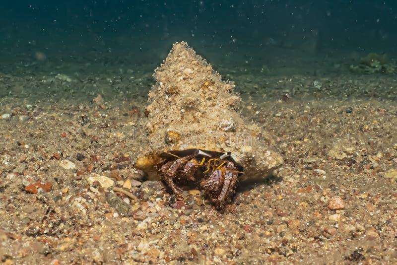 Mare di Anemone Carrier Hermit Crab in rosso fotografia stock libera da diritti