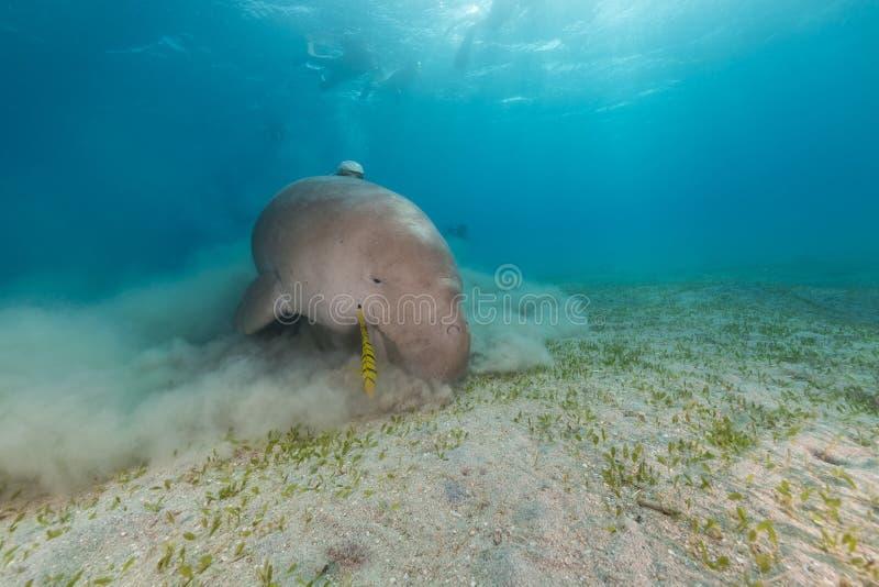 Mare di dugonghi (dugong dugon) o del seacow in rosso. fotografia stock libera da diritti
