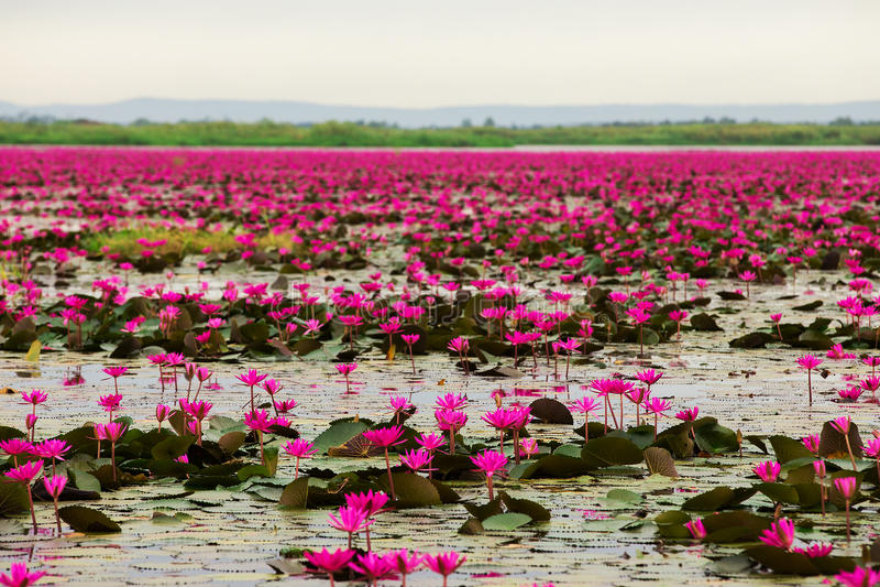 Mare di loto rosa e rosso a Udonthani Tailandia immagine stock