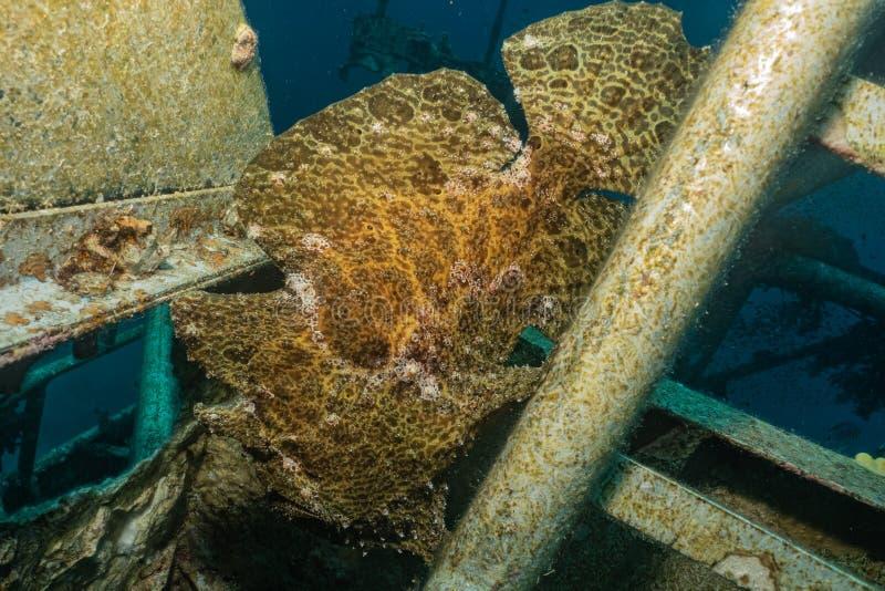 Mare di nuotata del pesce in rosso fotografie stock libere da diritti
