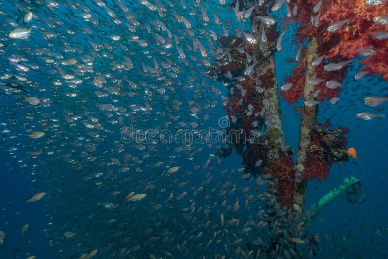 Mare di nuotata del pesce in rosso immagini stock libere da diritti
