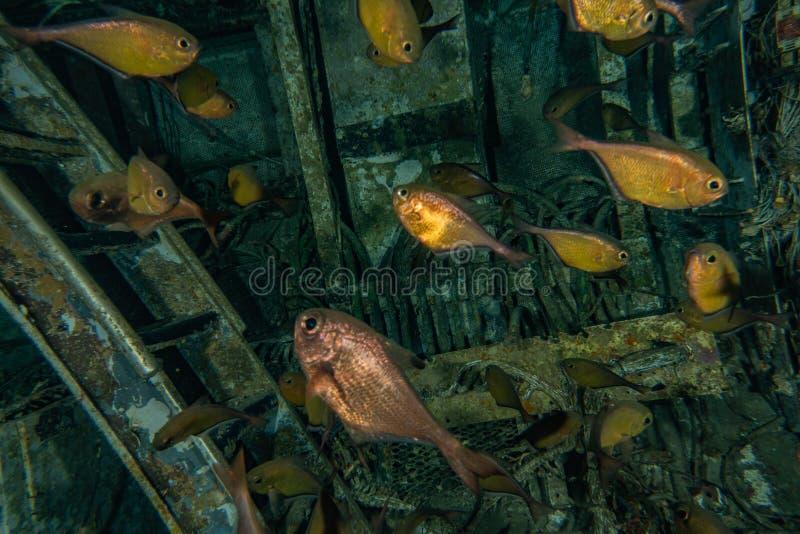 Mare di nuotata del pesce in rosso immagine stock