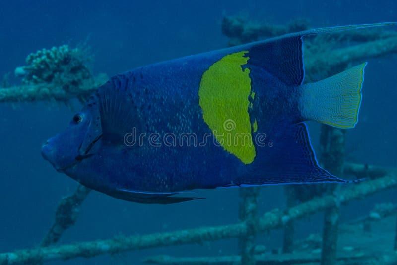 Mare di nuotata del pesce in rosso fotografia stock libera da diritti