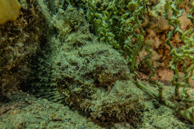 Mare di nuotata del pesce in rosso immagini stock