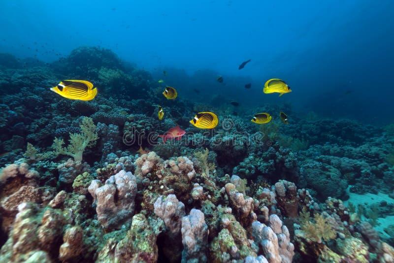 Mare di pesci angelo del procione (fasciatus del chaetodon) in rosso. immagini stock
