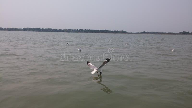 Mare Eagle d'immersione fotografia stock