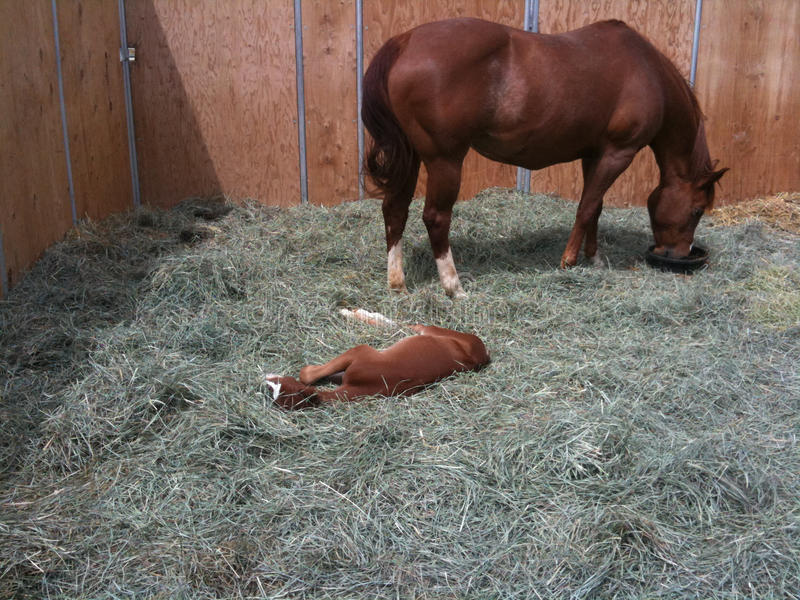 Mare eating and tending her foal stock image