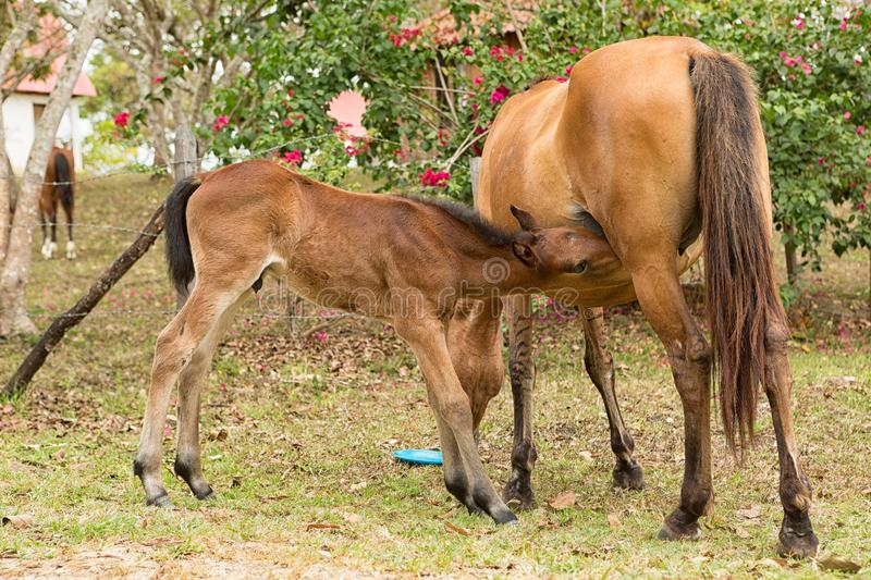 Mare feeding foal with milk. Outdoors in Mexico royalty free stock photography
