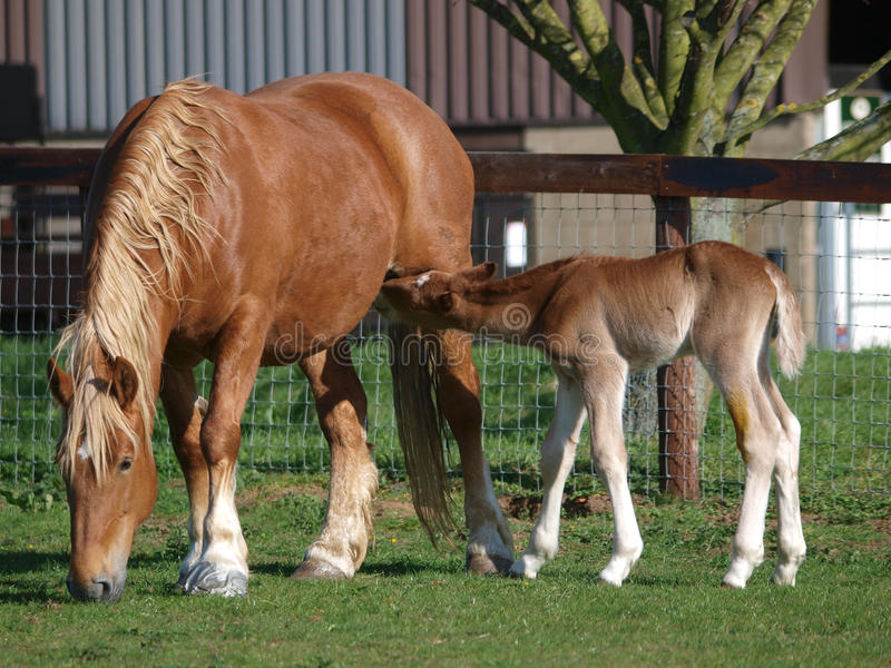 Mare Feeding Her Foal. A Suffolk Punch mare feeds her foal in a paddock stock photo