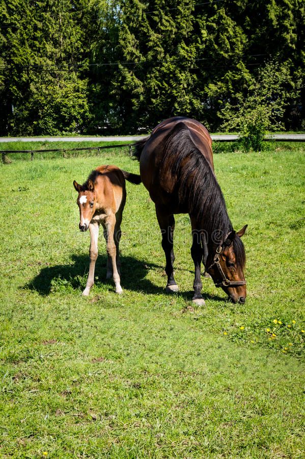 Mare and Filly Grazing in a Meadow. Near Fort Langley British Columbia royalty free stock photo