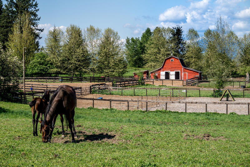 Mare and Filly Grazing in a Meadow. Near Fort Langley British Columbia with their red barn in the background royalty free stock photo