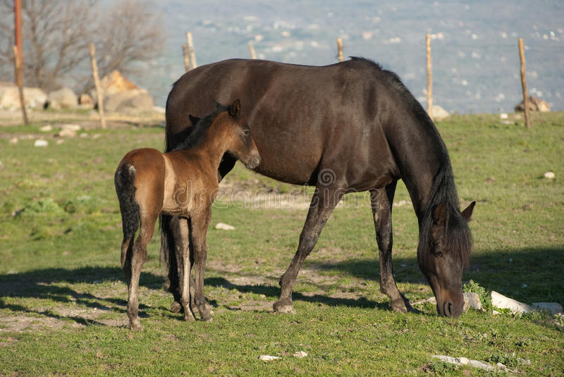 Download Mare and foal stock photo. Image of animal, farm, field - 12975952