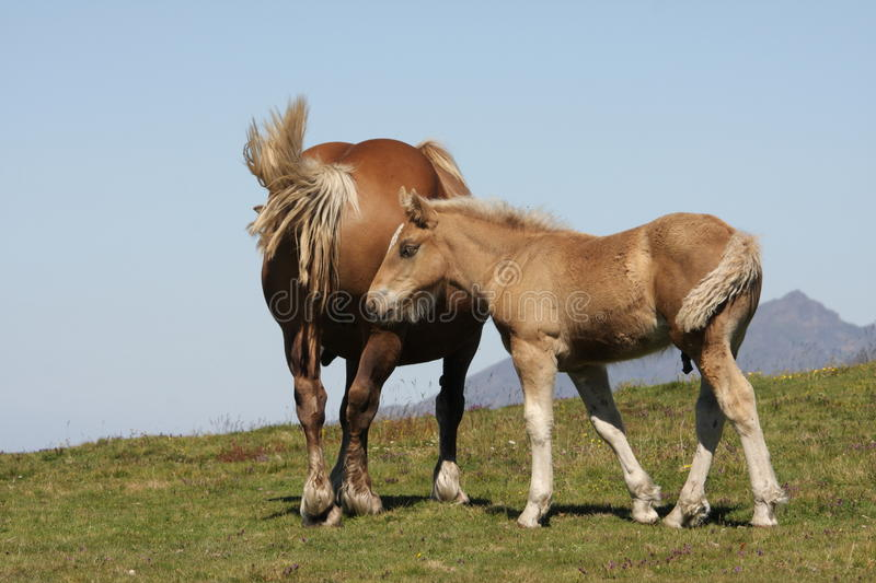 Download Mare and foal stock image. Image of pyrenees, herbivorous - 21590685