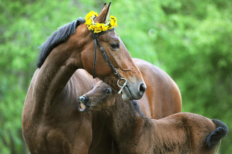 Mare with foal. Graze in a meadow in the summer royalty free stock photography