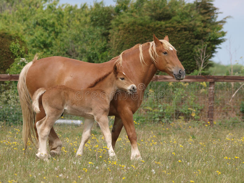 Download Mare and Foal stock image. Image of graze, mammal, equestrian - 28925275