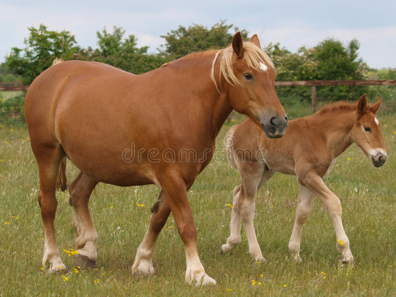 Download Mare And Foal Royalty Free Stock Images - Image: 28925309