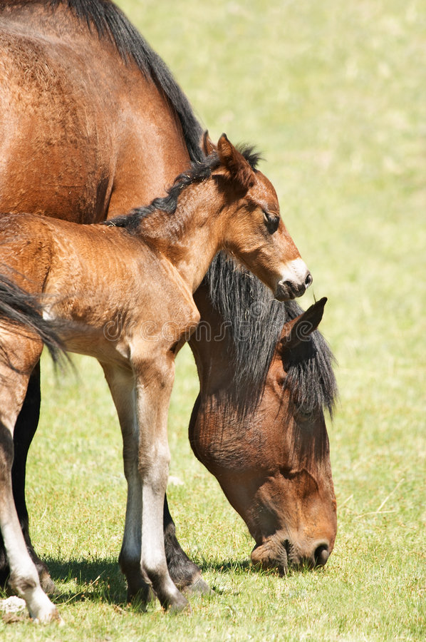 Download Mare and foal stock image. Image of defenseless, bronco - 4672743