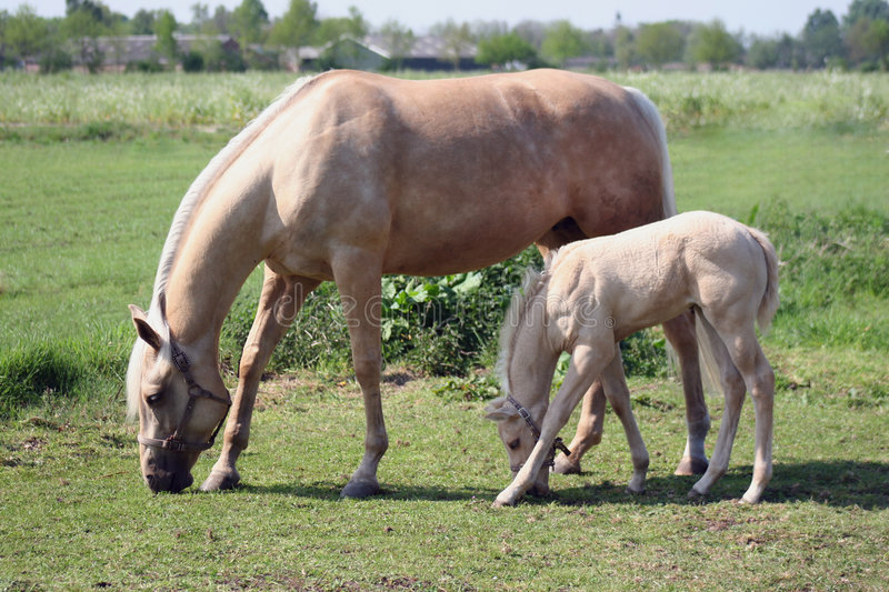 Mare and foal royalty free stock image