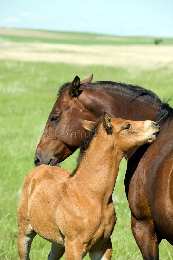 Download Mare and foal stock photo. Image of horses, wild, foal - 5533780