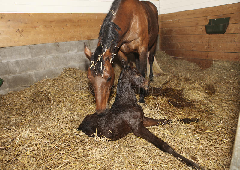Mare and foal after birth royalty free stock photos