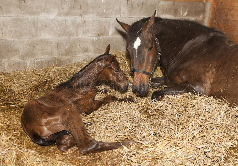 Mare With Foal After Birth Stock Image Image Of Stable