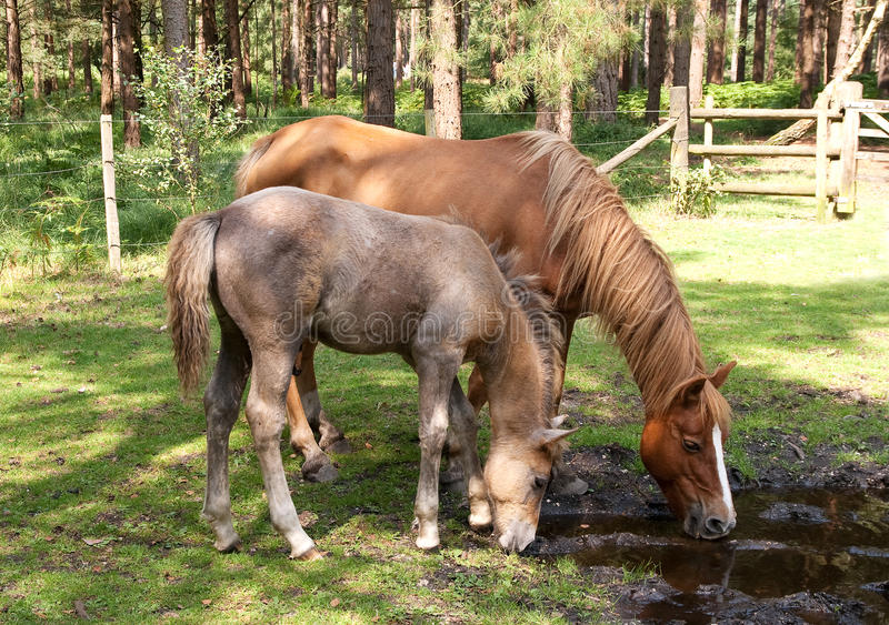 Mare And Foal Drinking Stock Images