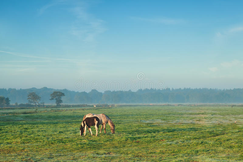 Mare with foal grazing on pasture in misty morning stock images