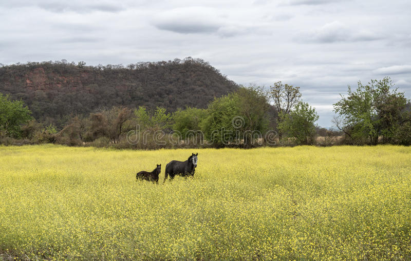 Mare and foal. Look at camera from a field of yellow flowers royalty free stock photos