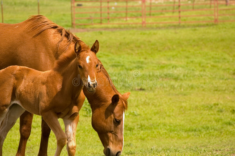 Mare and foal in pasture stock photos