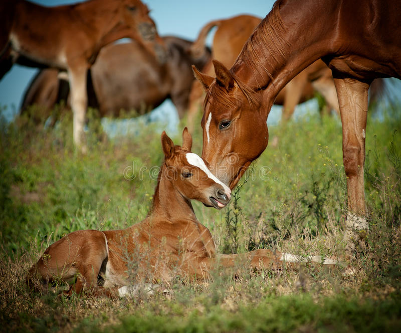 Download Mare and foal in pasture stock photo. Image of family - 32415742