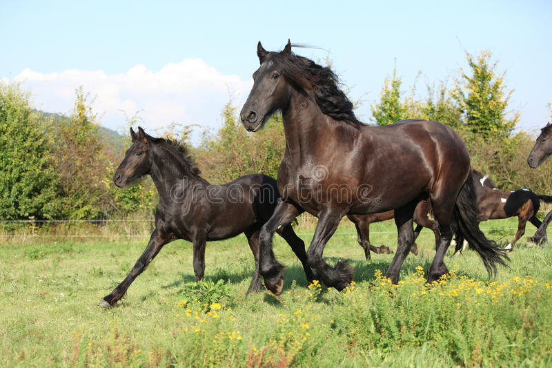 Mare with foal running in autumn royalty free stock image