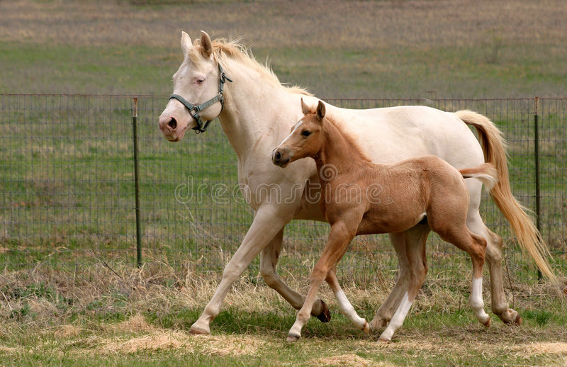 Mare & Foal Trotting stock photo