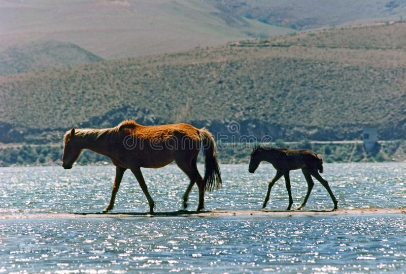 Mare and foal walking by the sandbar on the lake
