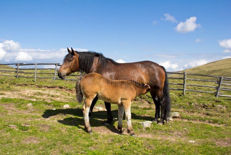 Download Mare Giving Milk To Foal stock foto. Afbeelding bestaande uit blauw - 39103028