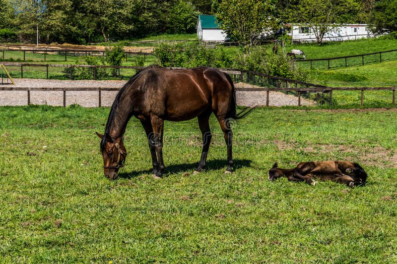 Mare Grazing and Filly Laying Down. In a Meadow near Fort Langley British Columbia royalty free stock photos