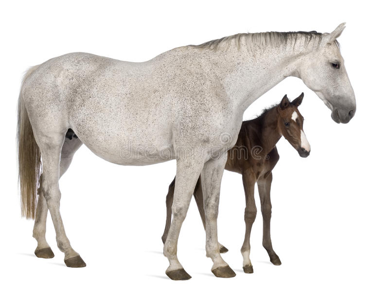 Mare and her foal, 14 years old and 20 days old. Standing in front of white background royalty free stock photography