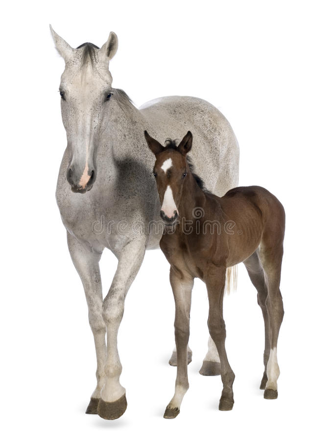 Mare and her foal, 14 years old and 20 days old. Standing in front of white background stock photography