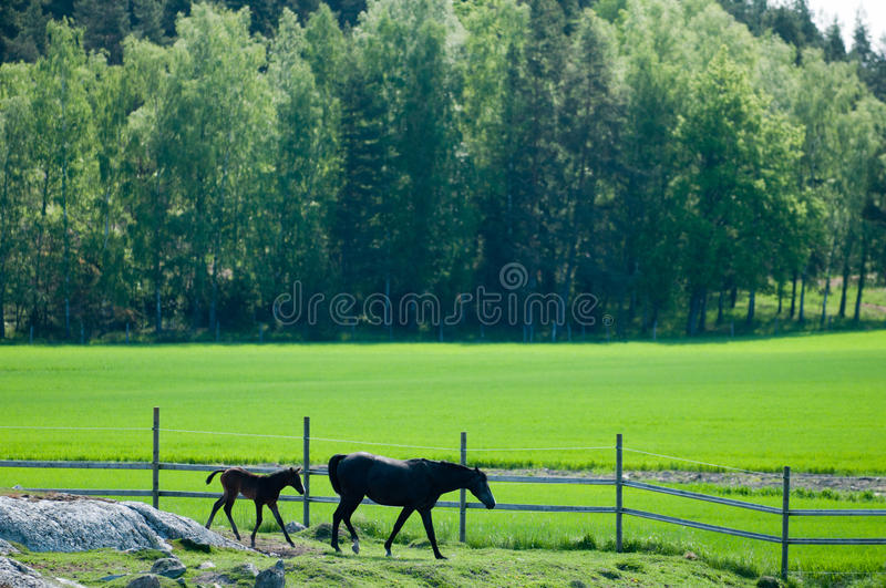 Download A mare and her foal stock image. Image of outdoors, foal - 24970353