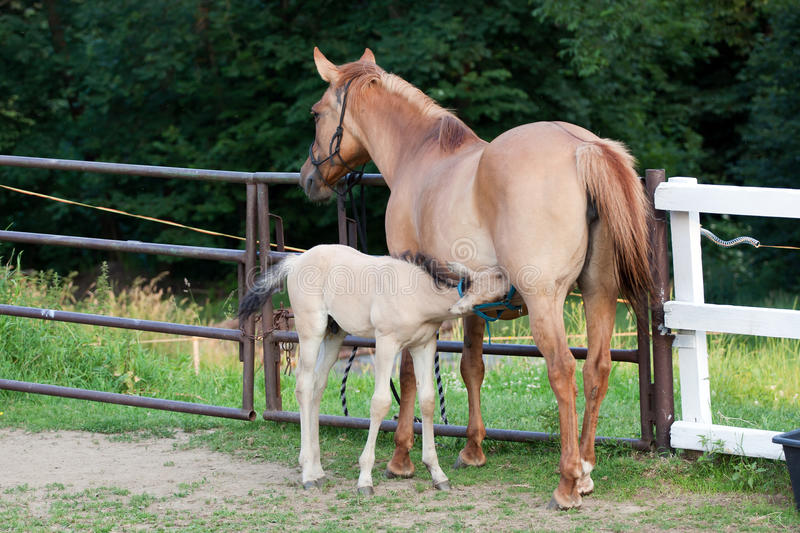 Download Mare and her foal stock photo. Image of mammal, filly - 25801224