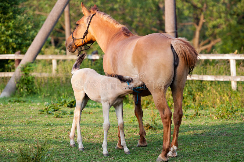 Mare and her foal. In meadow stock image