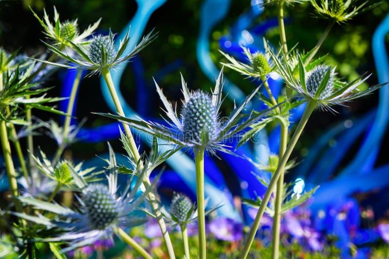 Mare Holly Eryngium Thistles di Big Blue fotografia stock