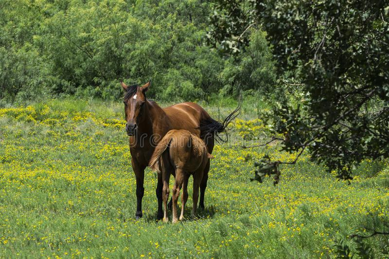 Mare Horse Nursing Foal no campo de flores amarelas imagem de stock royalty free