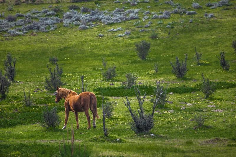 Mare horse walking through a green field on a farm. stock photo
