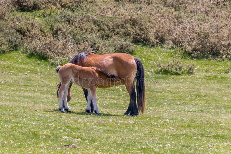 Mare i foal w łące obraz royalty free