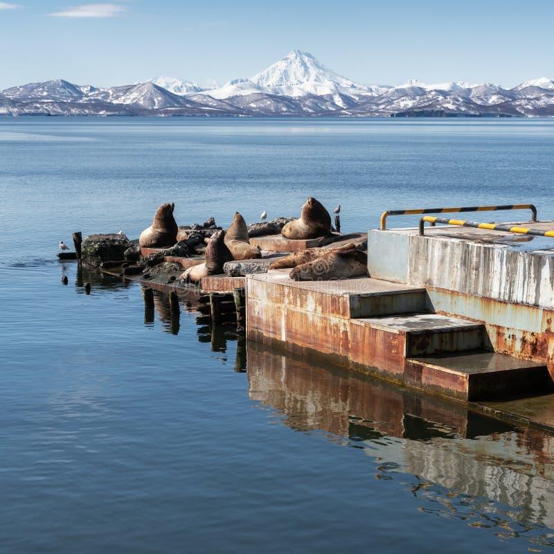 Mare Lion Northern Sea Lion di Steller della colonia di corvi sulla penisola di Kamchatka fotografia stock