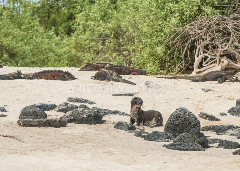 Mare Lion Pup immagini stock libere da diritti