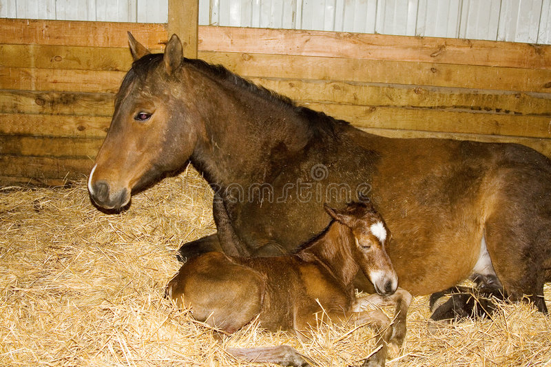 Mare and Newborn Foal stock images